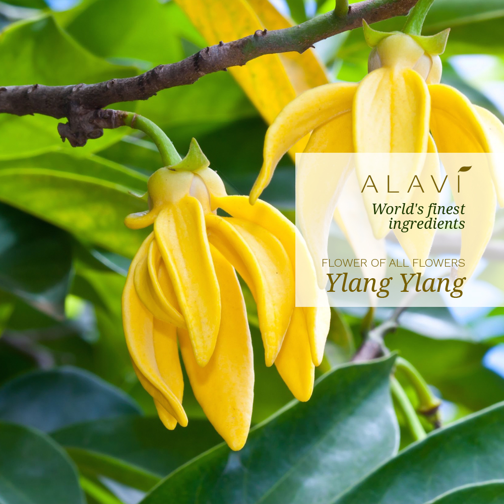 Ylang Ylang - the flower of all flowers